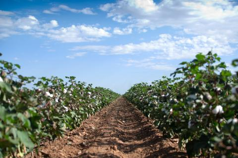 Cotton field, USA © BCI
