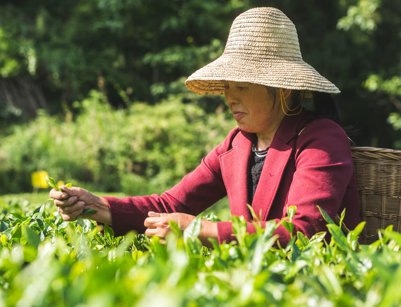 Farmer collecting tea leaves © Philipp Benedikt for Fairtrade