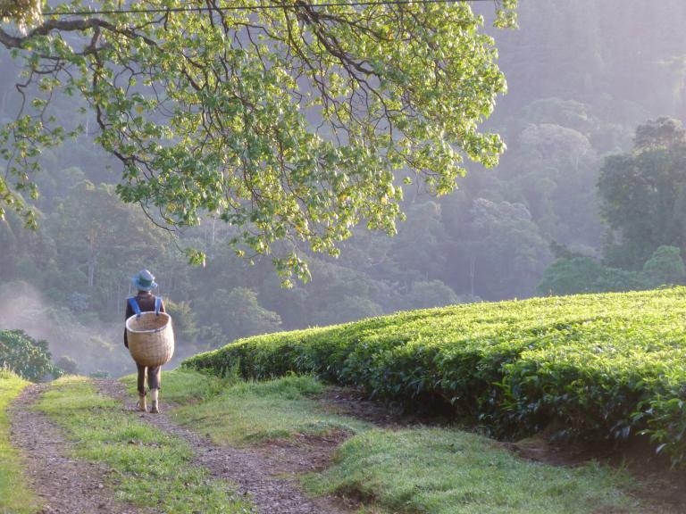 Tea picking © Sustainable Agriculture Network